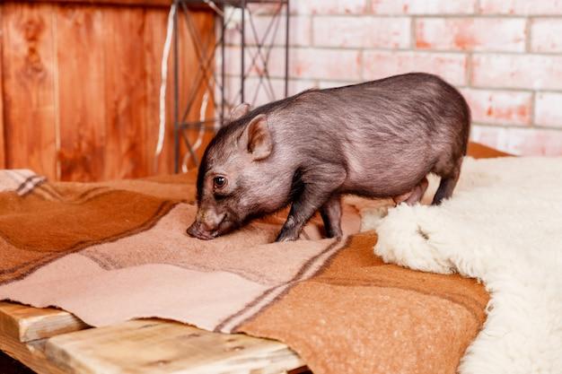 Schwein ferkel, schwarzes schweinchen. chinesisches horoskop-konzept. schwarzes mini-schweinchen. chinesisches jahr. frohes neues jahr. chinesischer kalender.
