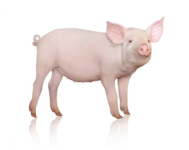 Schwein isoliert