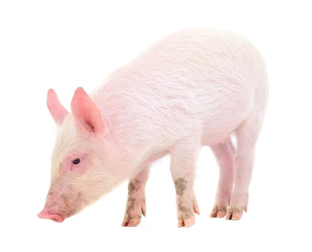 Schwein lokalisiert auf einem weißen hintergrund