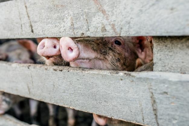 Schwein nase. nahaufnahme von schwein schnauzen durch einen zaun