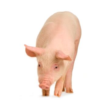 Schwein vor einem weißen hintergrund