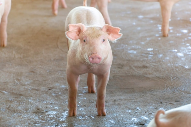 Schweinchen, das in einer örtlichen asean-schweinefarm gesund aussieht.