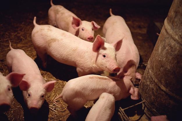 Schweine auf dem bauernhof.