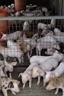 Schweine auf dem bauernhof