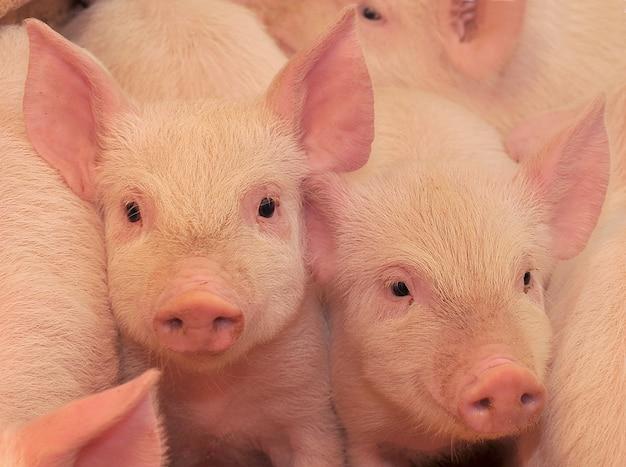 Schweine auf einem bauernhof