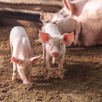 Schweine auf einer farm