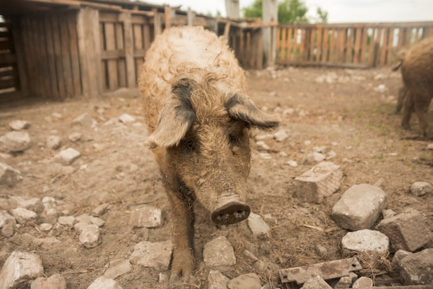 Schweine im stall eines bauernhofes