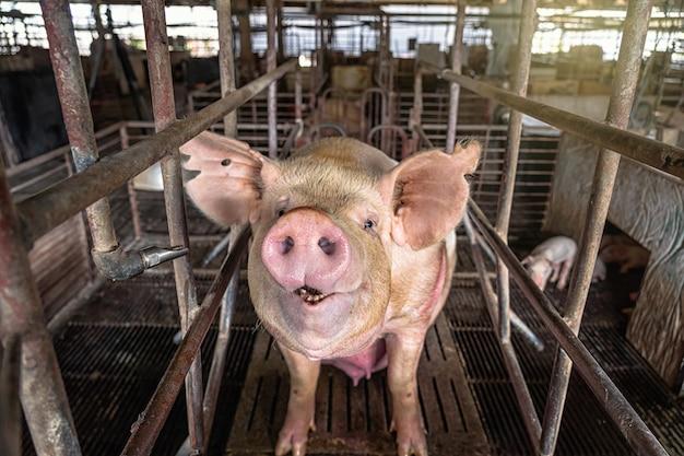 Schweine in schweinefarmen, schweineindustrie