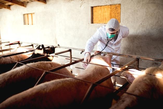 Schweine-tierarzt mit notizen zur untersuchung von schweinen im schweinestall.