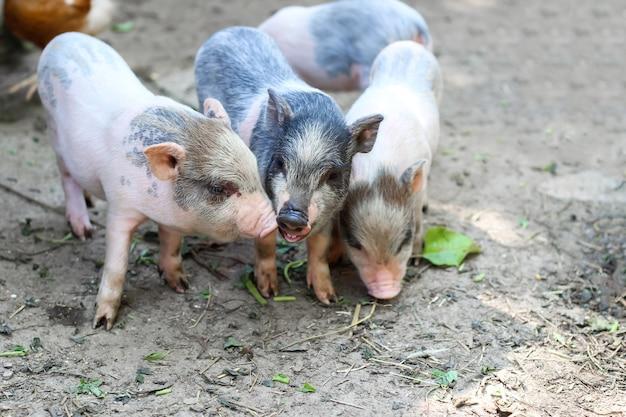 Schweine werden essen. kleines ferkel, das futter in der farm wartet. kleine ferkel spielen im freien