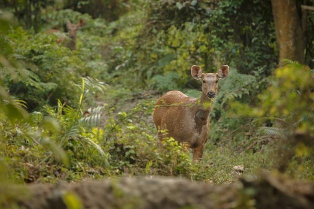 Schweinshirsche im wald des kaziranga-nationalparks in assam