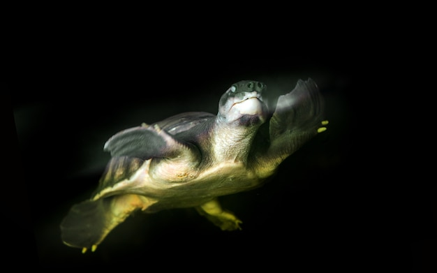 Schweinsnase schildkröte schwimmen
