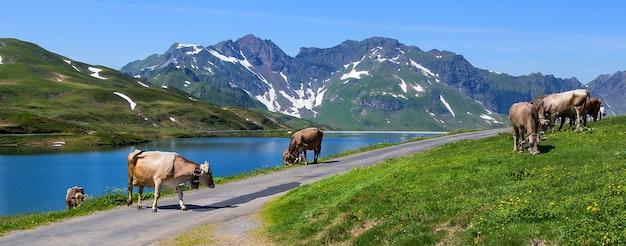 Schweizer kühe weiden