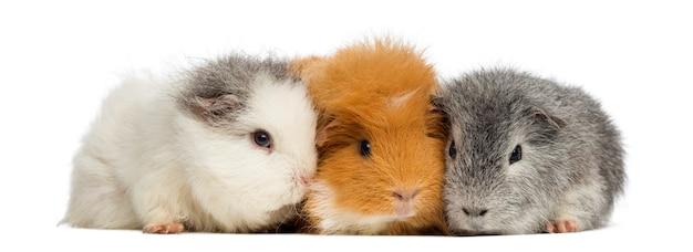 Schweizer teddy meerschweinchen in folge, isoliert auf weiss