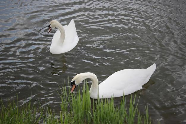 Schwere weiße schwäne schwimmen auf dem stillen wasser des sees.