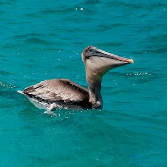 Schwimmen brown-pelikans (pelecanus occidentalis), san cristobal-insel, galapagos-inseln, ecuador