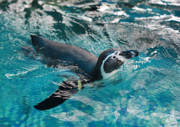 Schwimmen des humboldt-pinguins (spheniscus humboldti)