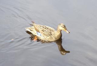 Schwimmen ente, see