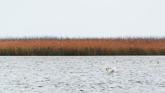 Schwimmender höckerschwan auf dem see
