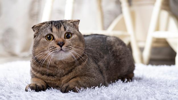 Scotch fold cat im wohnzimmer in der nähe des esstisches.