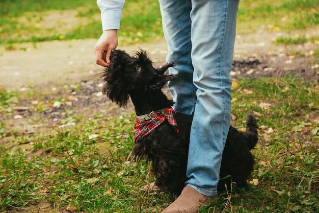 Scotch terrier bei einem spaziergang im park