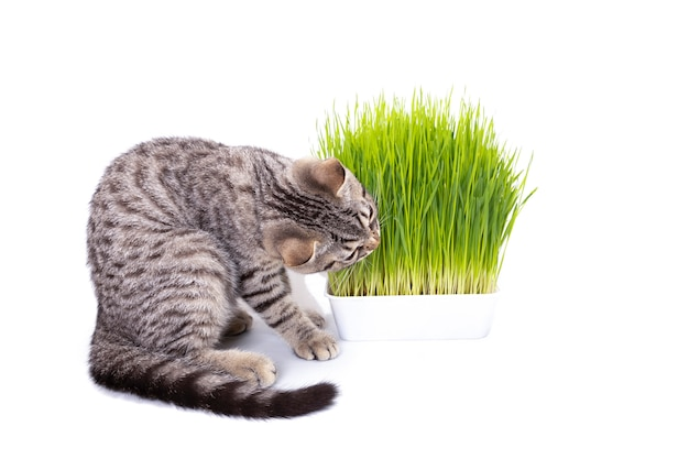Scottish-faltenkatze, die das frische grüne gras isst, das durch hafersamen wächst