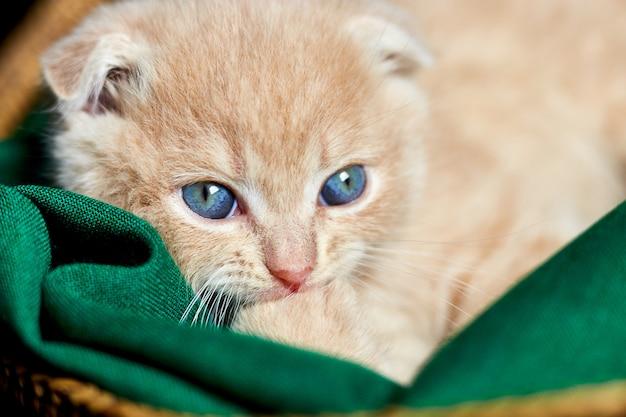 Scottish fold, britisch kurzhaar-kätzchen, das zu hause im korb schläft. kleines katzenporträt