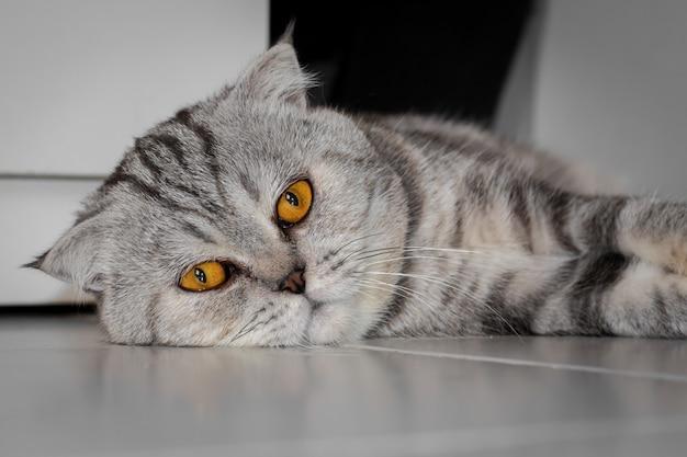 Scottish fold cat, die sich auf den boden duckte.