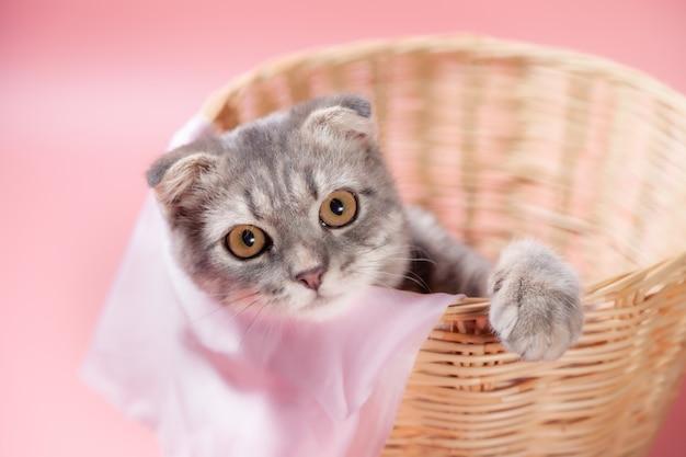 Scottish fold cat rasse, alter 3 monate im korb. kleine schottische falte katze süßes ingwer-kätzchen im flauschigen haustier fühlt sich glücklich und katze schön bequem. liebe zu tieren haustier konzept.