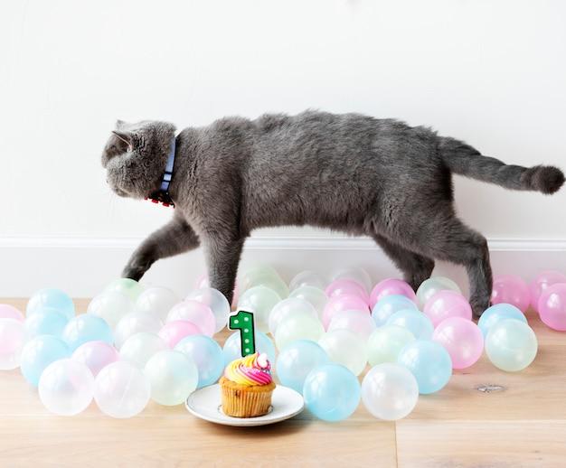 Scottish fold katze, die ihren ersten geburtstag feiert