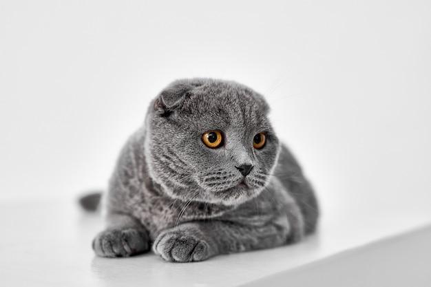 Scottish fold katze isoliert auf weiss