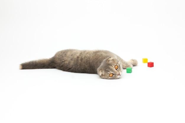 Scottish fold katze legt und spielt mit bunten gummiblöcken isoliert auf weißem hintergrund