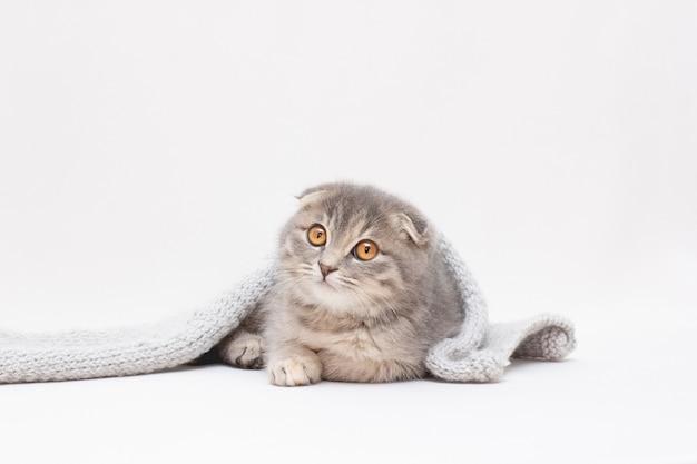 Scottish fold katze schaut weg