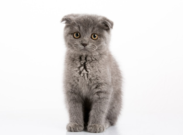 Scottish fold kitty hautnah