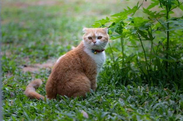 Scottish fold, schönes kätzchen auf grünem wald, augen auf der suche nach etwas