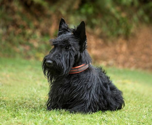 Scottish terrier, 2 jahre alt, im park
