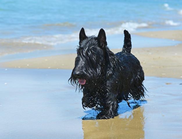 Scottish terrier am strand