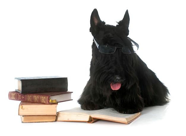 Scottish terrier und buch