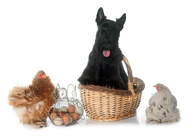 Scottish terrier und huhn