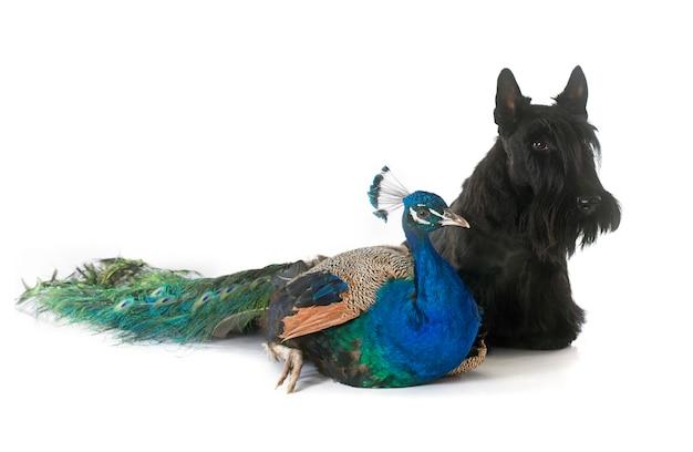 Scottish terrier und pfau
