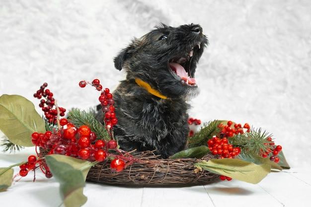 Scottish terrier welpe auf weißer wand