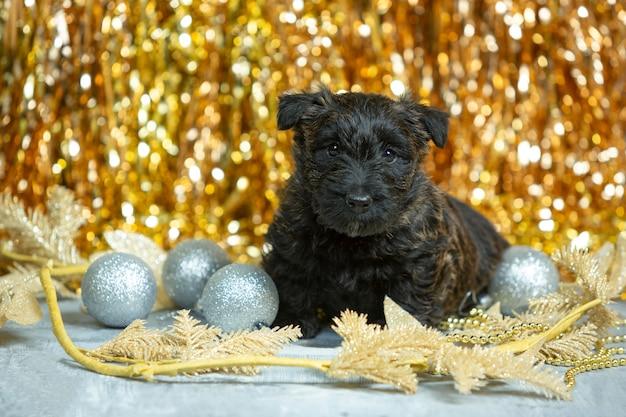 Scottish terrier welpe posiert. nettes schwarzes hündchen oder haustier, das mit weihnachts- und neujahrsdekoration spielt.