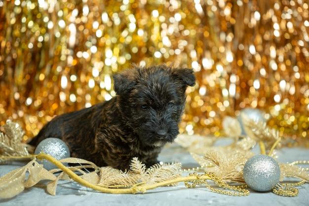 Scottish terrier welpen auf goldener wand
