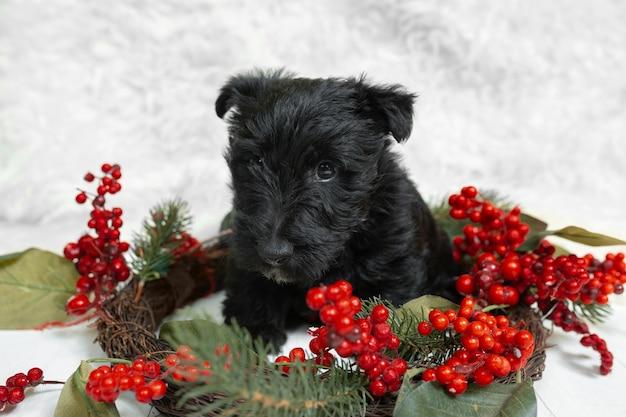 Scottish terrier welpen posiert. nettes schwarzes hündchen oder haustier, das mit weihnachts- und neujahrsdekoration spielt. sieht süß aus. fotoshooting im studio. konzept der feiertage, festliche zeit, winterstimmung. negativer raum.