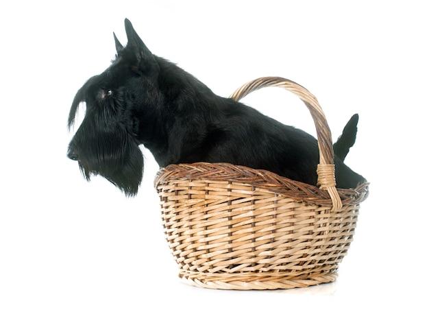 Scottish terrier Premium Fotos