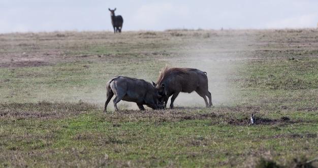 Scrimmage in der savanne. warzenschweine. sweetwaters, kenia