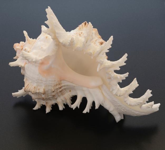 Sea shell nahaufnahme