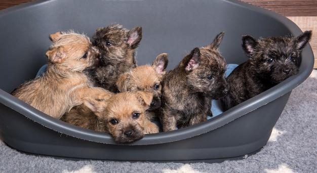 Sechs cairn terrier welpen hundehütte im hundebett