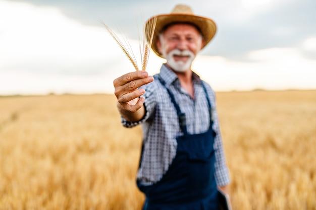 Sechzig jahre alter bartbauer, der weizenähren in der hand hält.