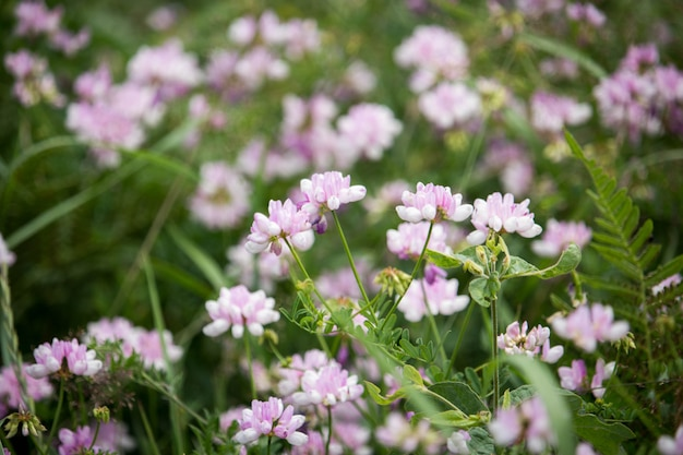 Securigera (coronilla) varia blumen. lila kronenwicke